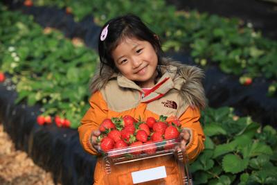 유기농 딸기 수확 체험