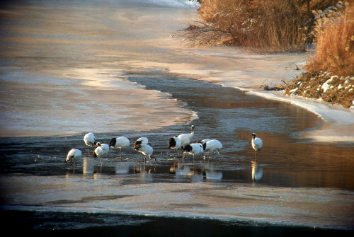 매년 겨울이면 임진강변에 형성되는 천연기념물 두루미와 북한