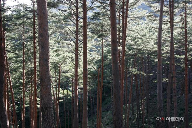 여행/ 울진 금강소나무 숲