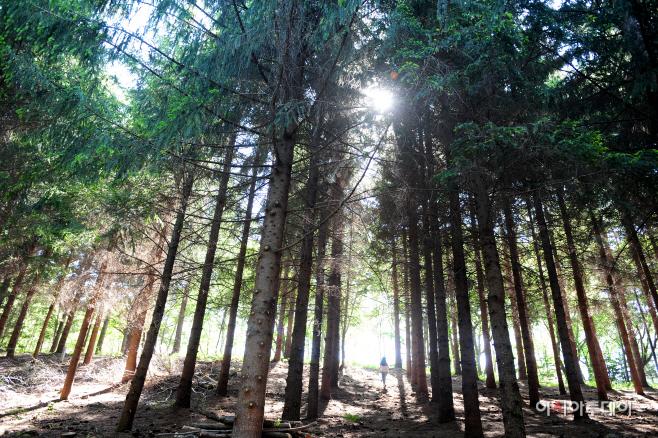 여행/ 발왕산 독일가문비나무 숲