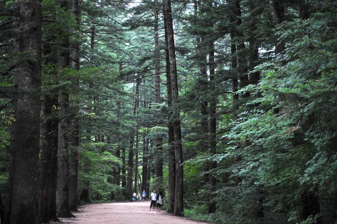 여행/ 월정사 전나무 숲길