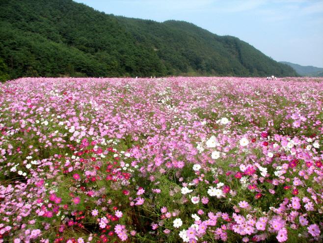 하동 북천코스모스메밀꽃축제의 코스모스 전경