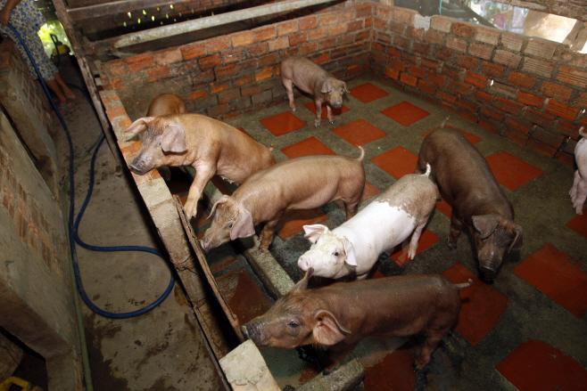 Swine Fever <YONHAP NO-4463> (AP)