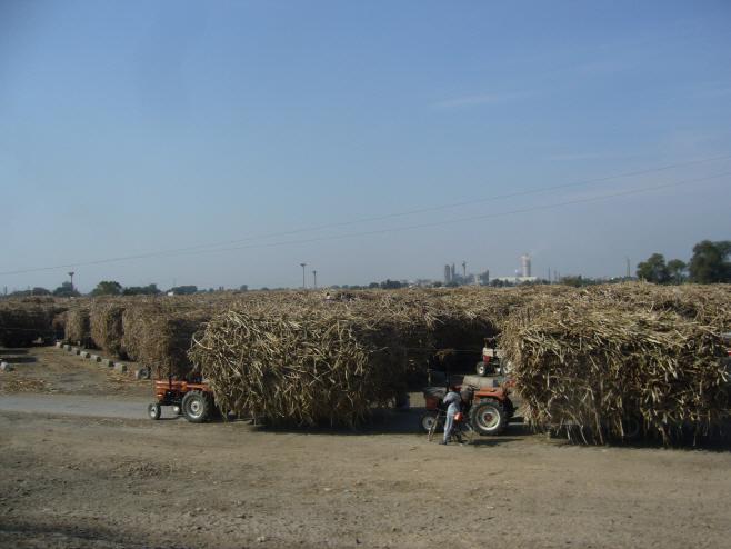Sugarcane_in_Pakistan