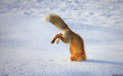 눈밭에 콕…붉은 여우의 사연