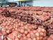 양파 '풍년'…과잉공급에 가격은 '폭락'