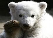 북극곰 급감, 새끼 2마리 생존