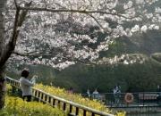 봄철 가볼만한 벚꽃축제 3곳