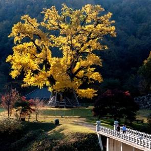 안동 용계은행나무도 만끽하는 가을