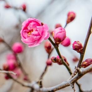 '봄이 왔네~봄이 와' 전남 다압 섬진강변 '홍매화'