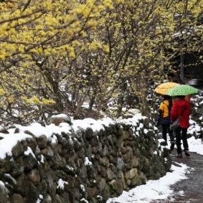 '산수유 질투하는 봄눈'...전남 구례 산수유 마을