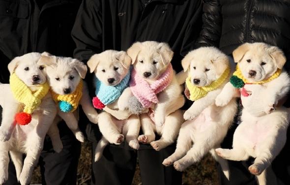 북에서 온 풍산개 곰이가 낳은 여섯 마리 강아지