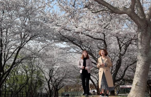 봄바람 휘날리며...강진 금곡사 벗꽃 만개
