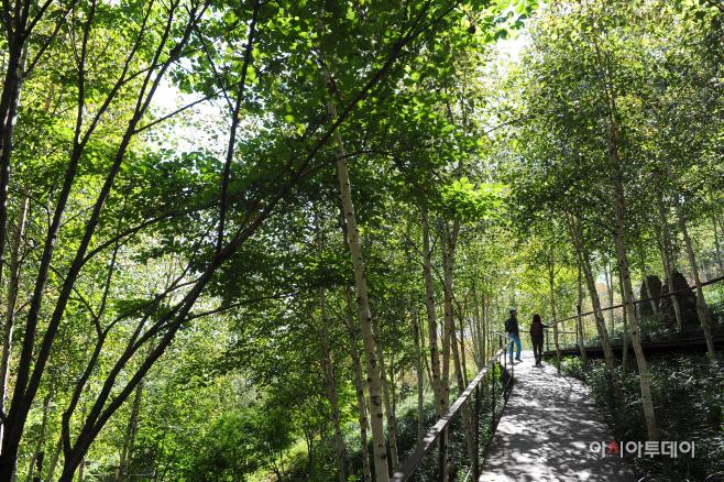 여행/ 화담숲 자작나무 숲