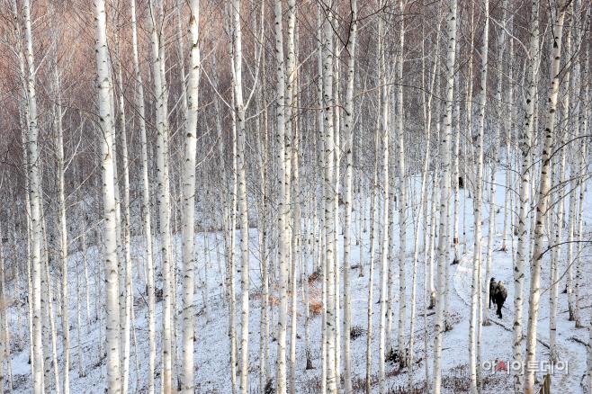 여행/ 원대리 자작나무 숲
