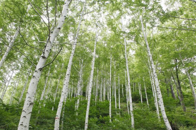 여행/ 영양자작나무숲