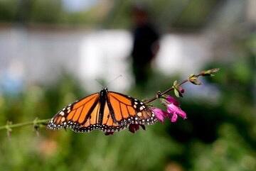 홍콩에 나비가 많아 진다는 건 여름이 오고 있다는 신호?