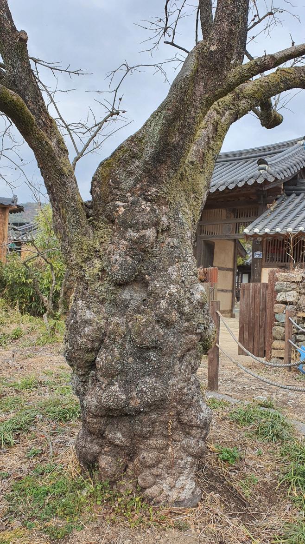 여행/ 남사예담촌 하씨고가 감나무
