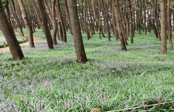 서천군 송림 숲에 맥문동 꽃 '활짝'